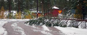 Den här tallen klarade inte snötrycket utan föll ut på Lillhärdalsvägen i Ulvkälla.