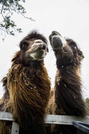 Arthur och William är två sibiriska kameler, inför sommaren tappar de sin tjocka päls som hållit dem varma under vintern.