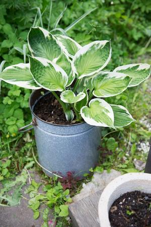 I en skuggig del av trädgården står det en gammal plåthink i vilken en hosta är planterad.
