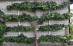Äppelträdet längst väggen fick Tommy Nilsson i 50-årspresent.