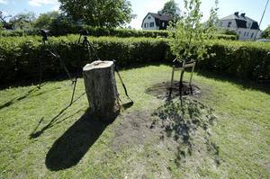 Ingen medieskugga. Både TV4, Tvärsnytt och lokala Kumlanytt fanns på plats för att i rörliga bilder visa päronträdet som redan planterades på måndagsförmiddagen. Bild: GÖRAN KEMPE