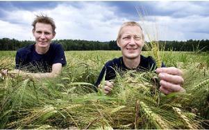 På några fält någon kilometer från gården sår de sexradigt korn. Någonting korna kommer att få smaska på i vinter. Foto: Peter Ohlsson