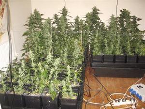 Beviset. Polisen bild på odlingen räckte inte för att övertyga tingsrätten att det var canabis. Foto: Polisen