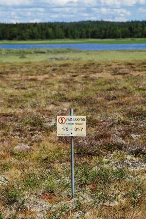 I samband med att fågelskyddet löpte ut 31 juli påbörjade länsstyrelsen i Jämtlands län restaureringen av Ånnsjöns myrmarker.