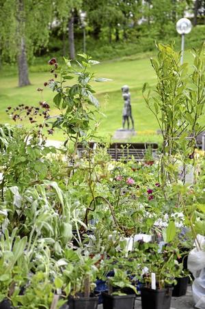 Växter. Det var flera företag och flera privatpersoner som lämnade in olika växter till auktionen.