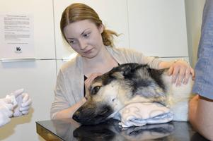 Jennie Lindberg-Wahlén lugnar Atlas när det blir dags för blodtappning.