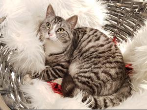 446) Vår fina katt Gizmo i julig bild!  Foto: Erika Halvarsson