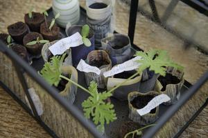 Sticklingar och andra plantor i ett miniväxthus. Foto: Jessica Gow/TT