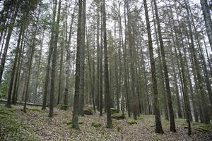 Granskog (ej i Brickebacken) angripen av barkborre.