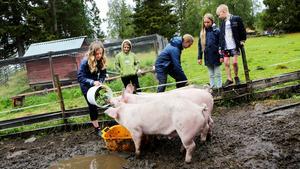 Livet på en fäbod kan vara både tungt och smutsigt. Det får Lilly Wallin, tio år, lära sig under fäbodlägret i Östnårbuan när grisarna ska ha sin frukost.