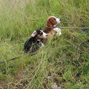 Disan tillsammans med valp kompisen Bella. Det skiljer 2 veckor i ålder. Dessa valpar var alltid tillsammans. Bella var med när vargen tog Disa. Fortfarande  är Bella chockad och jätterädd. Alla plötsliga rörelser och ljud skrämmer henne.