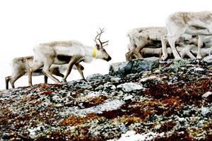 Flera vargar som finns på marker där Tåssåsens renar har sitt vinterbete får avlivas.