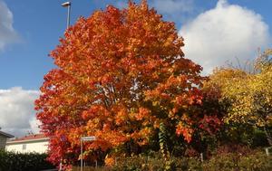 Denna färgexplosion i Nydala i slutet av oktober bjuder Agneta Enderin Sjölin på.