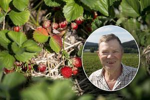 Fotomontage: Mikael Hellsten.Snart slut på jordgubbarna efter rekordtidig säsong – odlaren:
