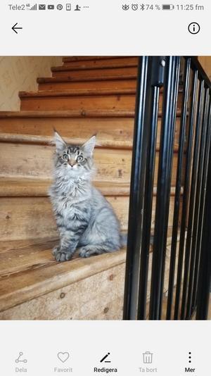 333) Maine coon katten, Ozzy 4 månader. Sitter hemma på trappen i spjutsvik och spanar. Foto: Ann-Louise Åström