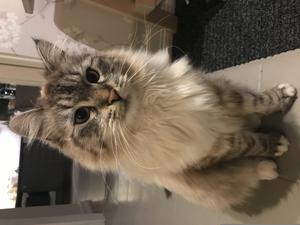 Hej, jag heter Sigge och är en sibirisk katt. Jag trivs bra med snö och is. Jag älskar att vara med min familj, speciellt med min husse. Mat är min stora passion. Jag har äntligen fått till mitt revir där jag bor. Nu kan jag jaga i fred. Bild: Oscar Lundberg