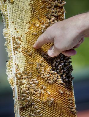 Taket på hamburgerhaket . 30 till 50 liter honung beräknas de cirka 50 000 bina producera på en säsong.
