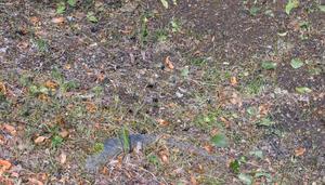 Runt om, under lindarna ligger humlor utspridda som dött. En biolog Bbl/AT varit i kontakt med säger att de troligen dött en naturlig död.