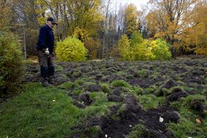 Vildsvin har bökat upp gräsmattor i Gårdskär. Ivan Sund är en av flera drabbade husägare. Arkivbild från 2018.