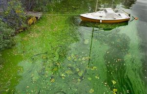 Vacker men livsfarlig algblomning.Foto: Claudio Bresciani  /TT/