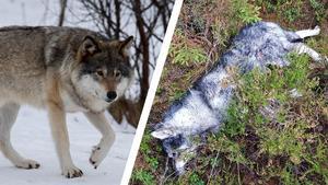 Vargar bet på lördagen ihjäl jämthunden Brolle. Bild: TT/Privat