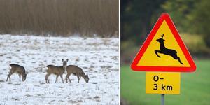 Åtta viltolyckor i länet med rådjur under morgontimmarna. Bilden är ett montage.