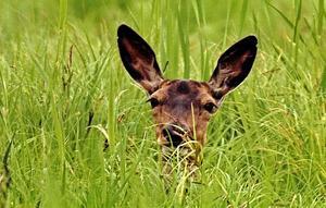 Så här nära har jag aldrig kommit en kronhjort, berättar Roland Löfdahl. Och visst undrar hjorten vad det är för konstig varelse han ser på några meters håll.Foto: Roland Löfdahl.