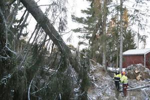 Lasse Eriksson, mobilkranförare och Leif Lindblad, skogsentreprenör samarbetar för att lyckas lyfta bort den tunga granen som ligger över hustaket.