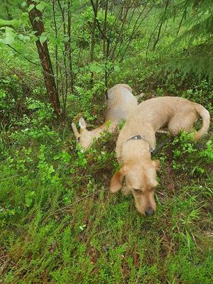 Ett rådjur som blev påkört juni 2017 och gick 150 meter med spräckt mage och två ben av. Tack vare Lances nos hittade de djuret och kunde avsluta lidandet.