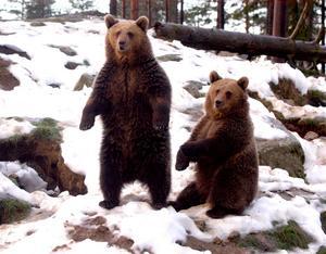 I normala fall gömmer eller flyr björnarna människan. Foto: Stefan Sunkdkvist
