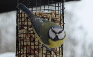Foto: Gunnevi Karlström. Pigg och nyfiken besökare vid fågelmaten.