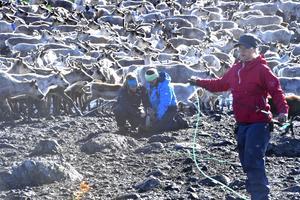 Martina Jonsson och Elin Wallström märker en kalv.