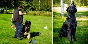 Till höger hunden Ambra, en flatcoated retriever, redo för söndagens fortsättningsklass i rallylydnad.