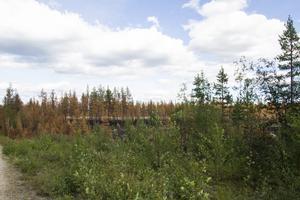 På vissa ställen i den brända skogen finns små partier som klarat sig undan lågorna och lyser gröna.