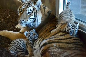 Två sibiriska tigerungar har fötts i Orsa Rovdjurspark. Foto: Pressbild.