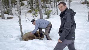 The best experience according to Anders Lundin is the label of the brown bear. Photo. SVT In predator predators