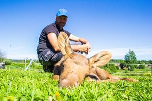 Älgkalvarna är pigga, friska och lekfulla – så Lars-Göran Eriksson hoppas att de ska kunna flyttas till en djurpark inom kort.