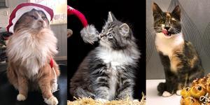 Leo, Mini och Maj-Britt hamnade på pallplats, flest röster fick den lejonlike kissen med passande namn.