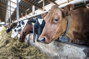 Hoten från djurrättsaktivister och militanta veganer som riktas mot mjölkbönder och andra djurägare  måste tas på största allvar. Foto: Lars Pehrson/TT