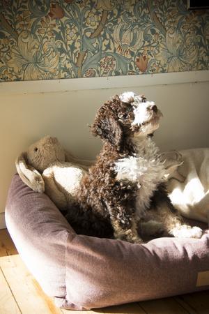 Hundvalpen Lovis är en ny familjemedlem. Hon är av en ras som inte hårar.