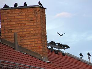 Kajträff på taket. Skorstenar kan bli utmärkta bostäder tycker kajorna.