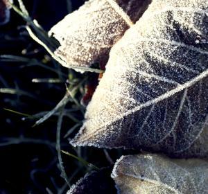 Bilden är tagen i min trädgård en frostig måndagsmorgon.