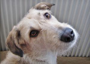 Denna uppmärksamma blick från min hund, Vilsa, lockade jag fram genom att viska namnet på hennes bästa hundkompis. Hon rusade därpå ivrigt till ytterdörren, stackarn. Skäms på mig, men vad gör man inte för en bra bild!