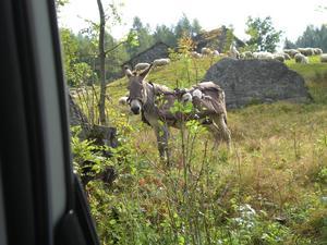Så här fint och tryggt får man åka när man är ett litet, nyfött lamm som inte orkar gå hela vägen när man flyttar fårhjorden till nytt bete, då får man åka lammtaxi. Varje åsnan tar fyra passagerare. Åsnorna tjänstgör också som vakter när de går och betar tillsammans med får, getter och kor.