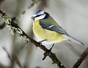Blåmes   Blåmesen är också den en av våra trognaste gäster. Med sitt blåa huvud och vita kinder samt det gula bröstet och gröna rygg är den lätt att känna igen