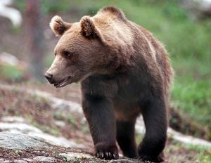 Gävleborg björnar har orsakat ovanligt mycket skada i regionen 2015.