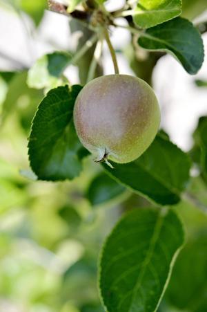 På vägen förbi Kivik kan man ta en äppelpaus.
