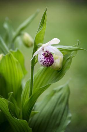 Ulla Silkens heter denna orkidé som växer i paret Sjöqvist trädgård.