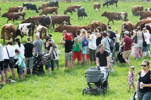 Det var både kor och människor som gick ute på grönbete på Fiskeby lantbruk.