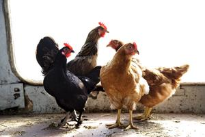 En liten hönsgård på villatomten är fullt möjligt och helt lagligt. Förutom ägg och kanske lite kött får man värdefull gödsel.